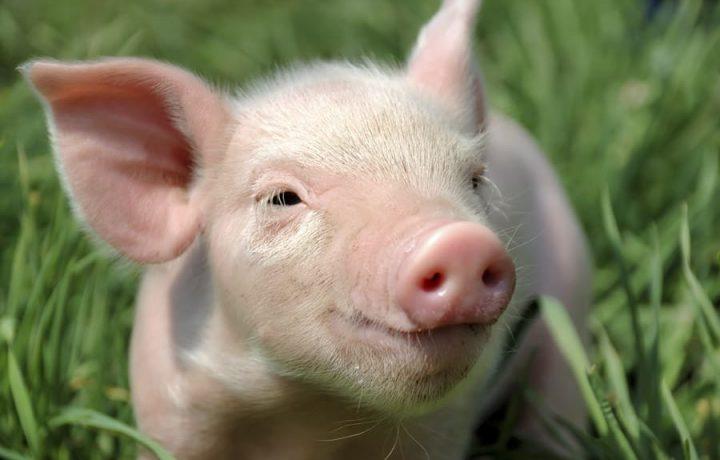 Проективная психотехника «Рисунок свиньи»